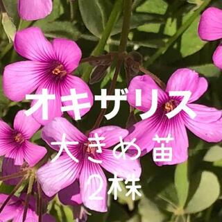 オキザリス ブラジリエンシス 濃いピンク 大きめ苗 2株 ハナカタバミ(プランター)