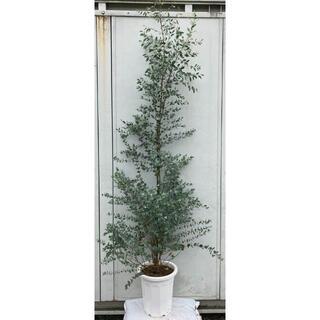 《現品》ユーカリ・グニー 樹高2.1m(鉢含まず)46【鉢/苗木/植木】(その他)