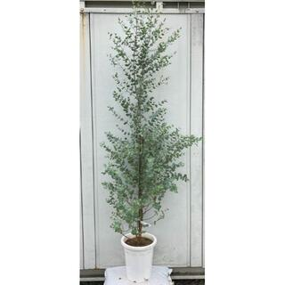 《現品》ユーカリ・グニー 樹高2.1m(鉢含まず)47【鉢/苗木/植木】(その他)
