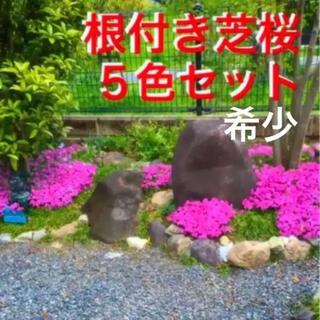 ☆根付き芝桜☆希少☆5色セット☆初心者向け(プランター)