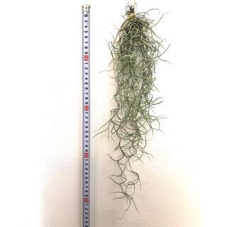③【お値下げ中】ウスネオイデス スパニッシュモス チランジア エアプランツ(その他)