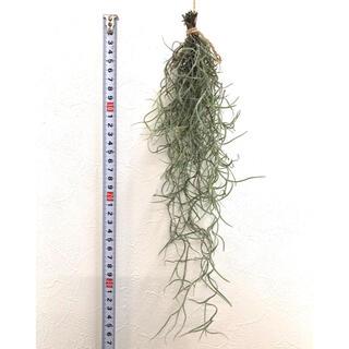 ④【sold out】ウスネオイデス スパニッシュモス チランジア エアプランツ(その他)