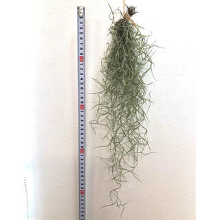 【お値下げ中】ウスネオイデス スパニッシュモス チランジア エアプランツ(その他)