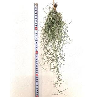 ウスネオイデス スパニッシュモス チランジア エアプランツ(その他)