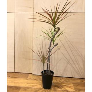ドラセナ レインボー ホワイボリー 3本立て 観葉植物(その他)