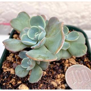 韓国苗‼️多肉植物 こぶ系エケベリア  レインドロップス 抜き苗25(その他)
