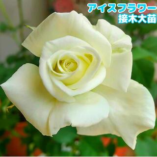 アイスフラワー 四季咲き 強健 半つる 白バラ 接ぎ木大苗(その他)
