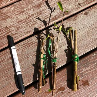 ザクロ穂木3品種8本 種無しザクロ 黒ザクロ 白ザクロ(その他)
