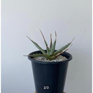 NEIGHBORHOOD - Agave Utahensis アガベ ユタエンシス エボリスピナ