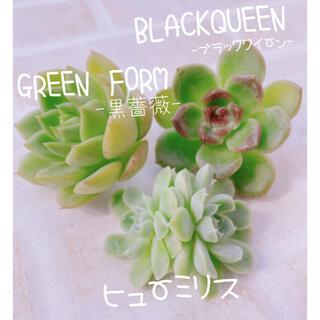 多肉植物 エケベリア 韓国苗 ブラッククイーン ヒューミリス グリーンフォーム♡(その他)