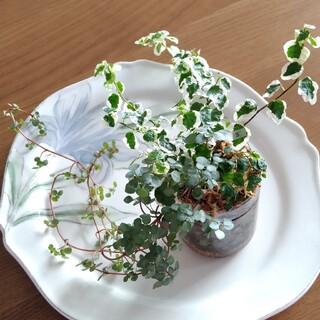 ③ 3種類 ピレア 斑入り プミラ ミニマ 苗 寄せ植え(その他)
