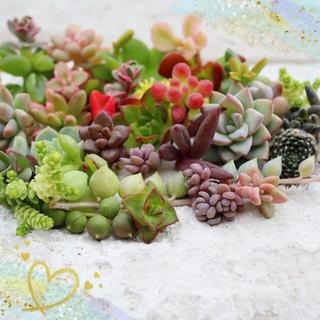 多肉植物(31)ちまちま寄せ植えにぴったり カラフルなカット苗&抜き苗セット(その他)