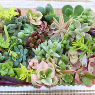 多肉植物(32)ちまちま寄せ植えにぴったり カラフルなカット苗&抜き苗セット(その他)