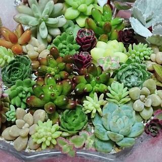 多肉植物(33)ちまちま寄せ植えにぴったり カラフルなカット苗&抜き苗セット(その他)