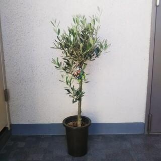 ①オリーブの木❗️創樹❗️SOUJU❗️高さ◎85❗️ミッション‼️樹形綺麗