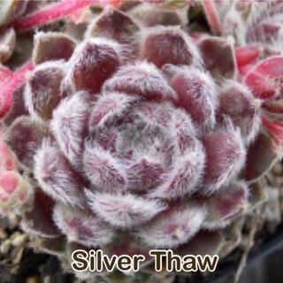 Silver Thaw センペル(その他)