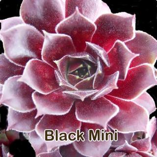 Black Mini センペル(その他)