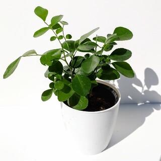 シルクジャスミン ゲッキツ Murraya paniculata 月橘 観葉植物(その他)