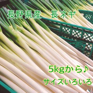 長野県産 長ネギ5キロ以上★箱いっぱい★(野菜)