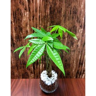 ねじりパキラ 観葉植物 ハイドロカルチャー(プランター)