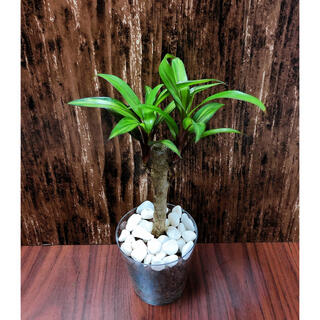 コルジリネ ゴールデンストライプ 観葉植物 ハイドロカルチャー(プランター)