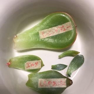 葉挿しセット♡多肉植物 韓国苗(その他)
