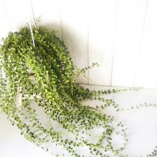 希少‼️ディスキディア*ミリオンハート!グリーン❗️インテリア性高い観葉植物(プランター)