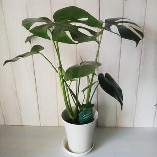 ②モンステラ デリシオサ‼️人気観葉植物❗️樹形綺麗‼️切れ込み綺麗❗️受皿付(プランター)