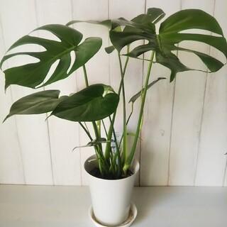 ③モンステラ デリシオサ‼️人気観葉植物❗️樹形綺麗‼️切れ込み綺麗❗️受皿付(プランター)