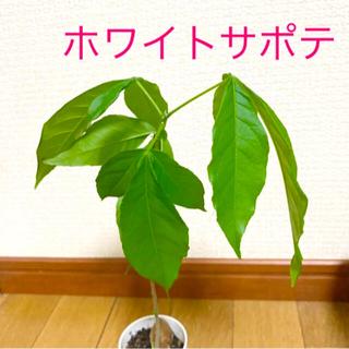 ホワイトサポテ苗木1株   白いポットごと発送 ラスト(その他)