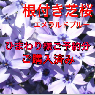 ☆増えて咲く❣️☆芝桜☆シッカリ根付き苗☆初心者向け☆エメラルドブルー☆(プランター)