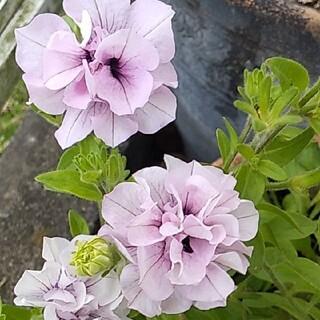 八重咲きペチュニア ラベンダー色 挿し木用カット苗 3本