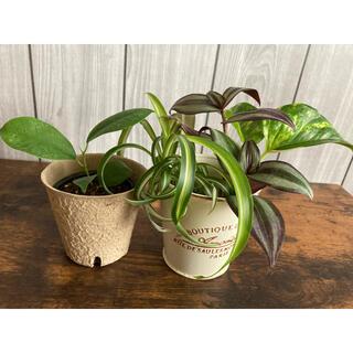 観葉植物4点セット(ポトス、オリヅルラン、トラディスカンチア、かじゅまる)