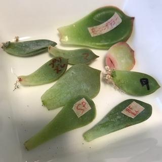 葉挿しセット ♡韓国苗♡多肉植物