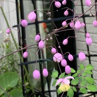 タリクトラム(カラマツソウ)種30粒