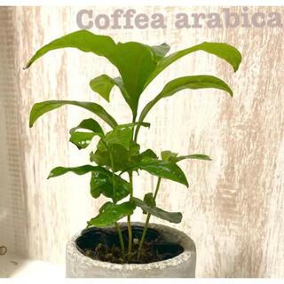 観葉植物 コーヒーの木 苗(プランター)