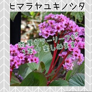 ヒマラヤユキノシタ  ピンク 花苗(その他)