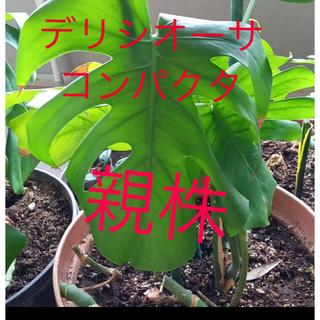 【希少種・初心者向け】モンステラ デリシオーサコンパクタ(その他)