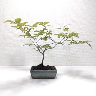 ヤマコウバシ盆栽 S002(その他)
