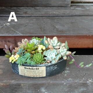 多肉植物リメ缶寄植え(A)(その他)
