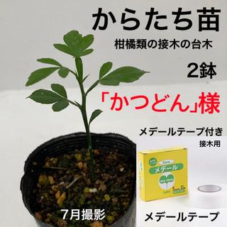 からたち(枸橘・枳殻)苗 2鉢(プランター)