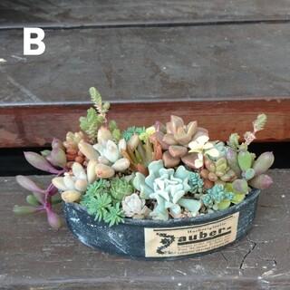 多肉植物リメ缶寄植え(B)(その他)