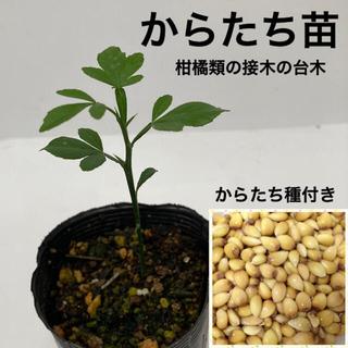 からたち(枸橘・枳殻)苗 1鉢【からたち種付き】(プランター)