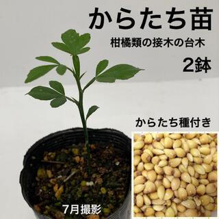 からたち(枸橘・枳殻)苗 2鉢【からたち種付き】(プランター)