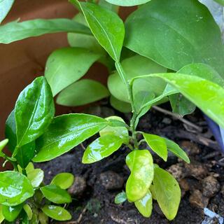 柑橘系苗木 種類不明(グレープフルーツ?)2本抜き苗 無農薬(プランター)