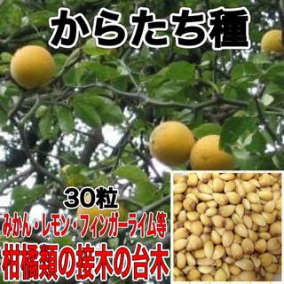 からたち(枸橘・枳殻)種 30粒
