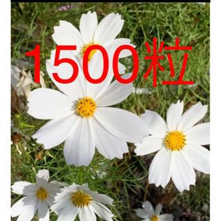 令和3年収穫のコスモス種  白色 約1500粒 約7.5グラム(プランター)