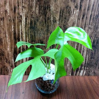 ヒメモンステラ 観葉植物 ハイドロカルチャー