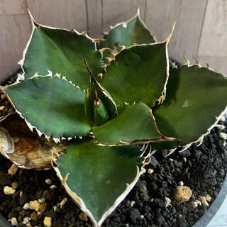 アガベ チタノタ agave titanota(その他)