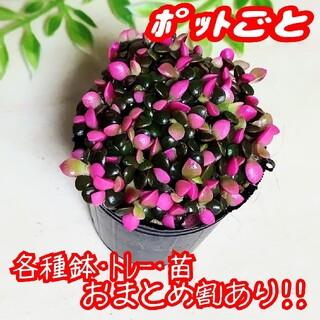 【ポットごと】桜吹雪 多肉植物 アナカンプセロス 紅葉 プレステラ プラ鉢(その他)